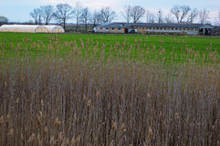 Farmstead and Greenhouse in the Background Behind the Bulrush Royalty Free Stock Photography