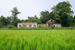Farmsteads in rice fields of verdant summer Royalty Free Stock Photos