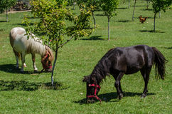 Farmville. Ponies and other animals graze in the garden royalty free stock photo