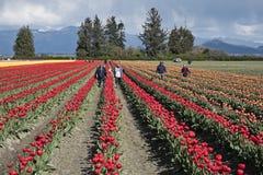 Farmworkers Przy Tulipanowym festiwalem Obraz Royalty Free