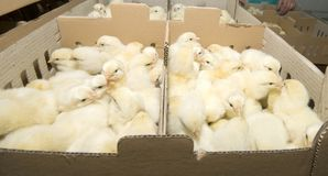 farmy produkcji kurczaków Zdjęcia Stock