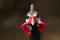 Farmyard Bird. Closeup farmyard bird Royalty Free Stock Photography