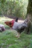 Farmyard drób Obraz Stock