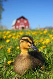 Farmyard duck Stock Image