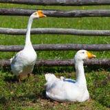 Farmyard Geese Stock Photo