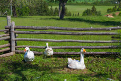 Farmyard Geese Stock Image