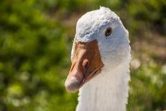 Farmyard goose Stock Photos