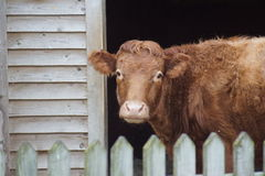 Farmyard Imagery - Cattle - Bos primigenius Royalty Free Stock Images