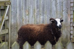 Farmyard Images - Male Sheep (Ram) - Ovis aries. Images within the farm yard - Male Sheep (Ram) - Ovis aries royalty free stock photos