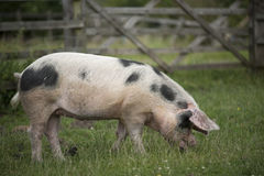 Farmyard Pig Stock Photos