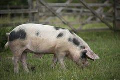 Farmyard Pig. Gloucestershire Old Spot Pig grazing Stock Photos