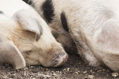 Farmyard pig. Gloucestershire Old Spot Pig resting Stock Photography