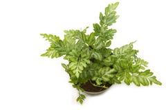 Farn (Adlerfarn) Houseplant im Topf lokalisiert Lizenzfreie Stockfotos