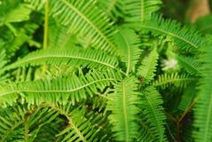 Farn-Blätter Stockfotografie