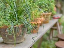 Farn in den Tongefäßen auf Holztisch, im Garten Stockfoto