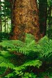 Farn, der im Wald wächst Lizenzfreie Stockfotos