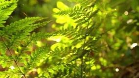 Farn in der Sonne im Wald 1280x720 HD stock footage