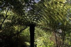 Farn des silbernen Baums Lizenzfreies Stockfoto