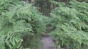 Farn im Cannock-Verfolgungswald, Großbritannien stock video footage