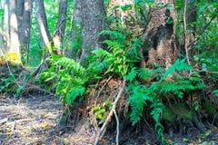 Farn im Wald Stockfotografie