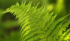 Farn im Wald Lizenzfreie Stockfotos