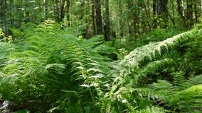Farn im Wald stock video footage