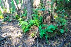 Farn im Wald Lizenzfreies Stockbild