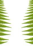 Farn lässt den Hintergrund, getrennt auf Weiß Stockfotografie