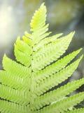 Farn liść przeciw lekkiemu promieniowi Fotografia Stock