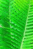 Farn treibt Nahaufnahme Blätter Stockbild