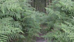 Farn und Kiefern im Cannock-Verfolgungswald, Großbritannien stock video