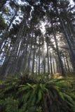 Farn unter den hohen Bäumen nebelhaft Stockfotografie