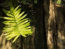 Farn wächst auf Bauholz und Baum Stockfotos