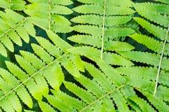 Farnblatt auf grünem natürlichem Hintergrund Lizenzfreie Stockbilder