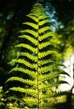Farnblatt im Wald auf Hintergrund des grünen Holzes im Sonnenlicht Lizenzfreie Stockfotos