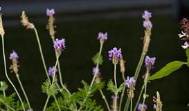 Farnblatt-Lavendelanlage Stockfotos