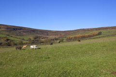 Farndale cows Stock Images