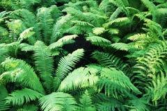 Farndickichte in den Wäldern von Valaam-Insel Lizenzfreie Stockbilder