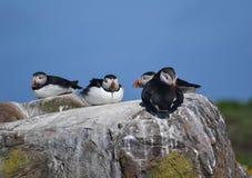 Farne öar - lunnefåglar - Seabirdkoloni Royaltyfria Bilder