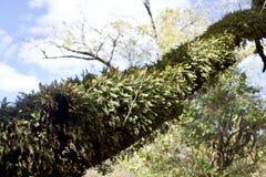 Farne, die auf einem Baum wachsen Stockbilder