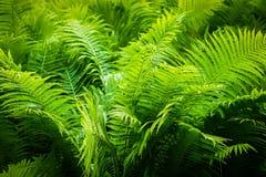 Farne im Wald lizenzfreie stockfotografie