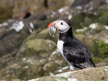 Farne Island Puffins carrying sand eels Stock Image