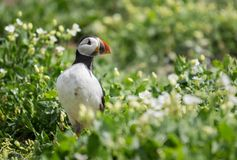 Farne Island Puffins Royalty Free Stock Photography