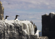 Farne Islands. Seabirds on cliffs and flying in Farne Islands, Northumberland royalty free stock photography