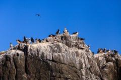 Farne Islands Bird Colony Stock Images