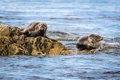 Farne Islands Grey Seals Stock Image