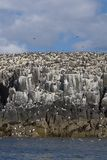 Farne11. Colony of breeding seabirds on cliffs, Farne Islands, late May, UK Royalty Free Stock Images
