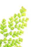 Farnfarbengrün auf weißem Hintergrund Stockfotos