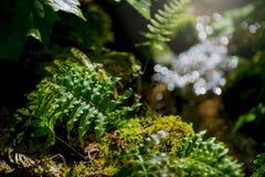Farnwedel im Wald Lizenzfreie Stockfotografie