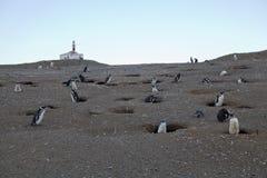 Faro circondato dai pinguini di Magellanic Immagine Stock Libera da Diritti